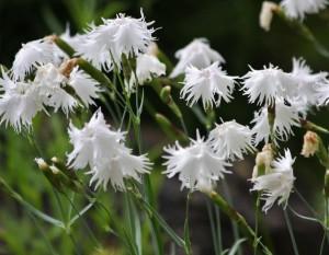 Smiltyninis gvazdikas.Dianthus arenarius_K.Obeleviciaus nuotr