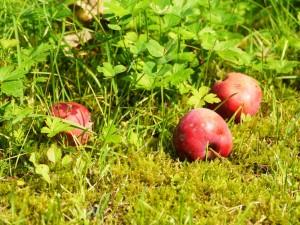 obuoliai_daivosv-nuotr
