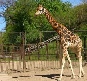Žirafa | AM.lt nuotr.