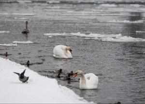Gulbės žiemą   T. Vinicko nuotr.