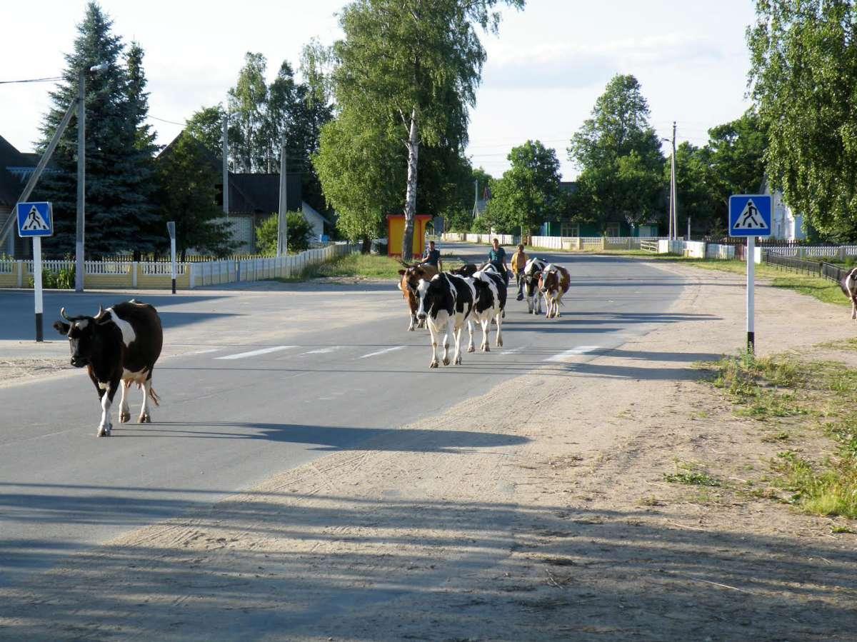 Po ganiavos. Rimdžiūnai (dabartinė Baltarusija), 2011-06-16. | Ž. Šaknio nuotr.