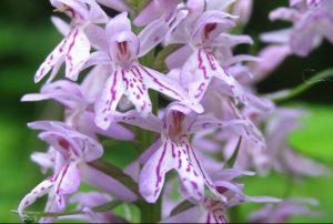 Lietuviškos orchidėjos | vstt.lt nuotr.
