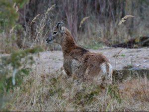 Muflonai Salantų regioniniame parke