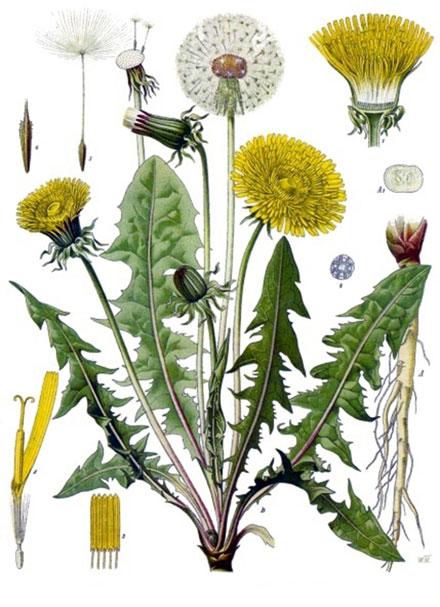 Paprastoji kiaulpienė (Taraxacum officinale)   zurnalasmiskai.lt nuotr.