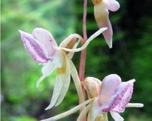 Belapė antbarzdė – rečiausia gegužraibinių šeimos orchidėja Lietuvoje | B. Šablevičiaus nuotr.