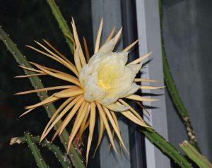 Didžiažiedis naktenis (Selenicereus grandiflorus)   VDU botanikos sodo nuotr.