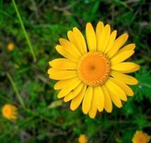 Geltonasis bobramunis | A. Stabrausko nuotr.
