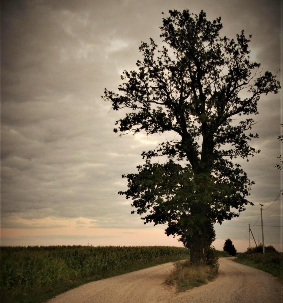 Medis Pilenu g-ves viduryje, Armaniskiai, Ringaudu seniunija, Kauno rajonas_G.Liago.