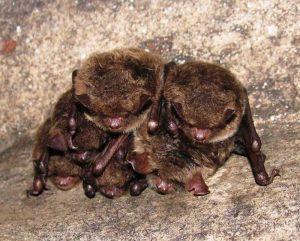 Miegantys šikšnosparniai | G. Vaivilavičiaus nuotr.