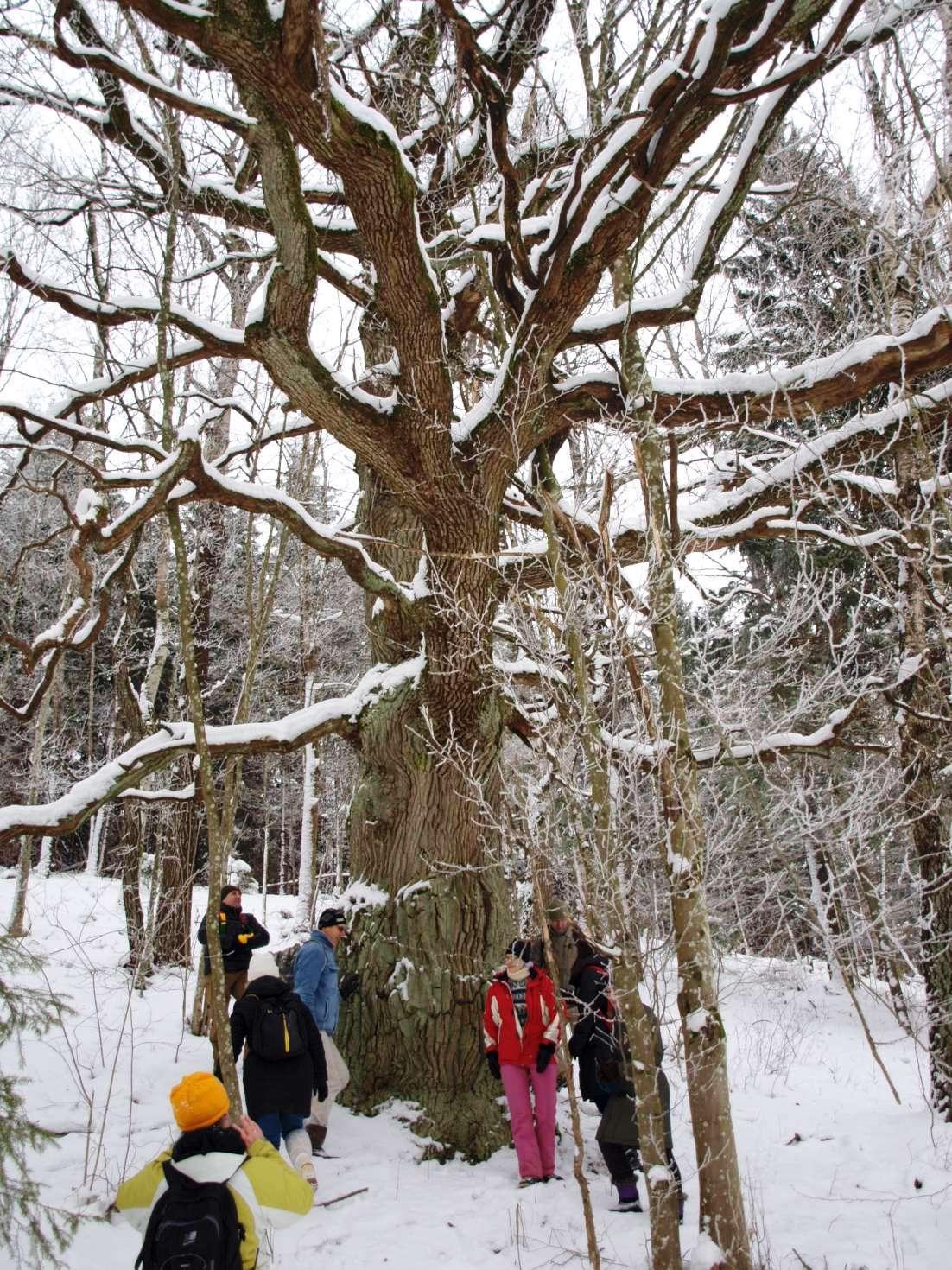 Prie Gelionių ąžuolo-drūtmedžio   Rengėjų nuotr.