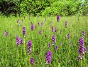 Lietuviškos orchidėjos | Neries reg. parko nuotr.