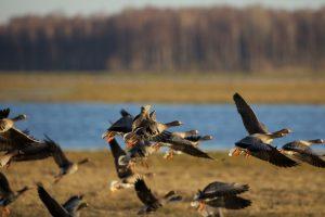 Paukščių migracija Nemuno deltoje   Ž. Morkvėno nuotr.
