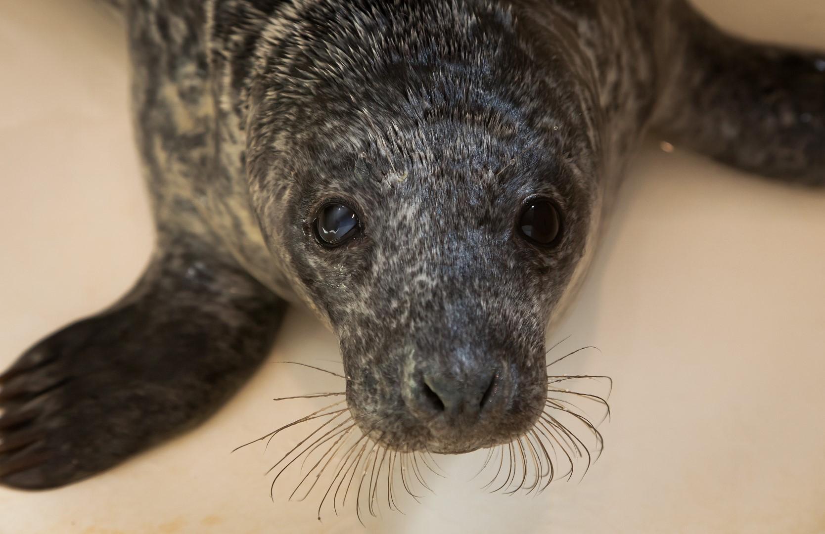 Jūrų muziejuje – rekordinis gydomų ruonių jauniklių skaičius | A. Mažūno nuotr.