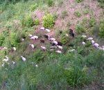 Škudžių veislės avys Aukštaitijos nac. parke   nuotr. iš ANPD archyvo