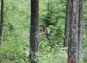 Vilkas Labanoro girioje | A. Gaidamavičiaus nuotr.