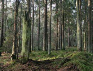 Tokių miškų Lietuvoje išlikę labai nedaug   glis.lt nuotr.