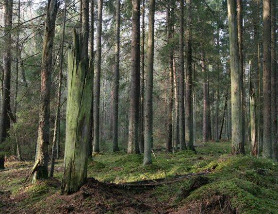 Tokių miškų Lietuvoje išlikę labai nedaug | glis.lt nuotr.