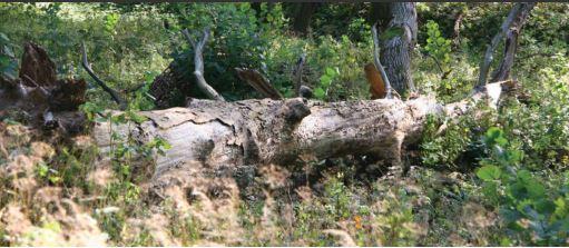 Ąžuolo virtuoliai ypač vertingi gamtiniu požiūriu, tačiau yra labai reti   glis.lt nuotr.