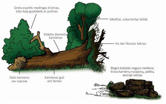 Idealus negyvos medienos pavyzdys   glis.lt nuotr.