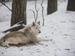 Vilkas | www.diena.lt nuotr.