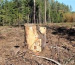 Miško kirtimas | G.Kniukštos nuotr.