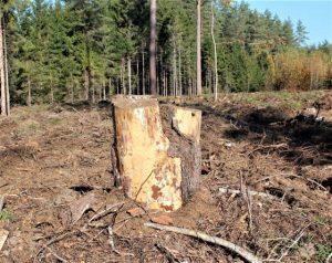 Miško kirtimas | G.Kniūkštos nuotr.
