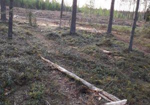 Plyni miško kirtimai   G.Kniūkštos nuotr.