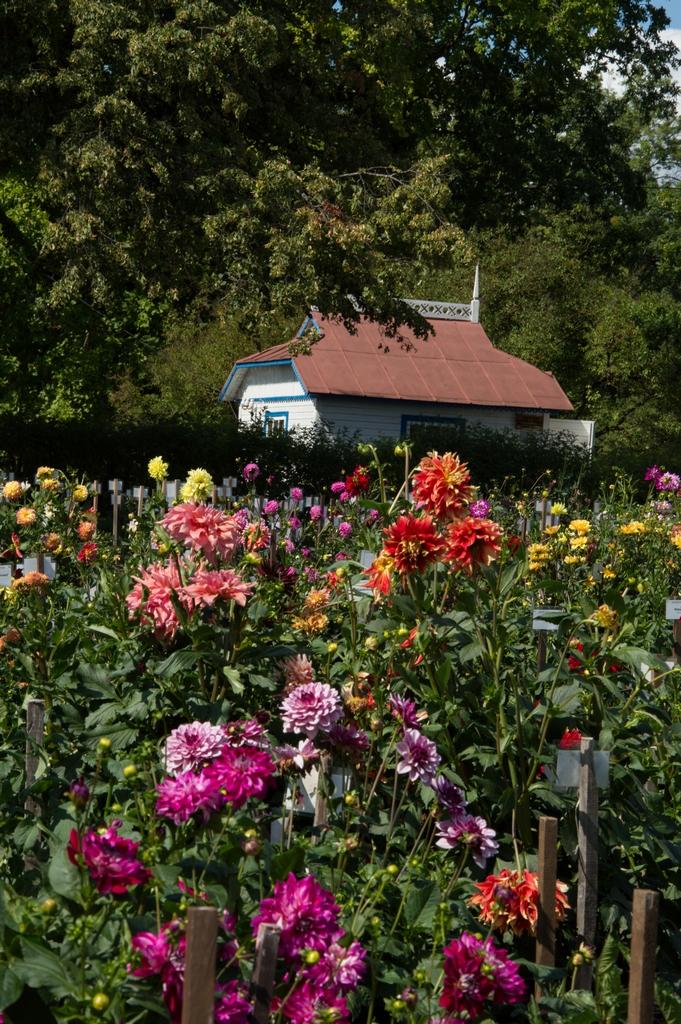 Į Kauną vilioja jurginai: tarptautinė paroda stebins žiedų formų ir spalvų įvairove | VDU Botanikos sodo nuotr.