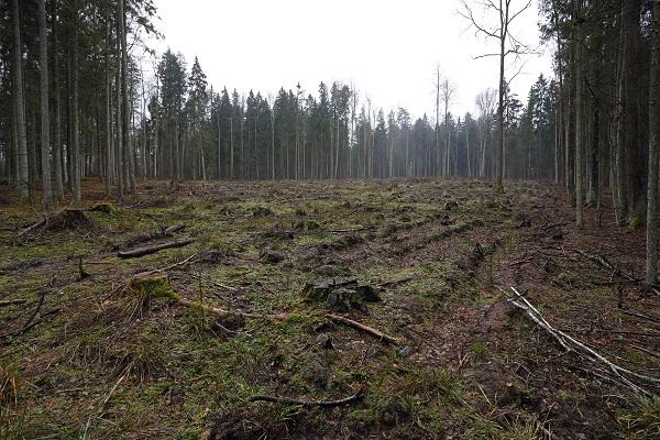 Sanitariniai kirtimai | Baltijos aplinkos forumo nuotr.