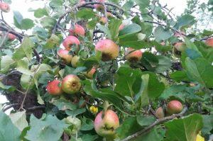 Šalnų ir sausros įtaka obuolių derliui ir kokybei | lrv.lt nuotr.