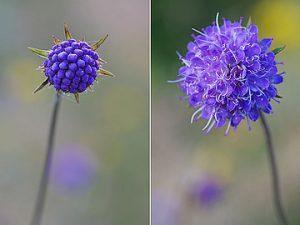 Pievinės miegalės žiedpumpuris (kairėje) ir išsiskleidęs žiedas (dešinėje) | Wikimedia Commons, CC BY-SA 3.0., Kristiano Fišerio (Christian Fischer) nuotr
