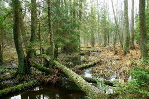 Aplinkos ministerijai pateiktas Punios šilo apsaugos tikslų projektas | lrv.lt nuotr.