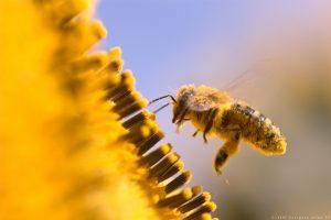 Bitės ir kiti vabzdžiai apdulkintojai yra būtini mūsų ekosistemoms ir biologinei įvairovei | europa.eu nuotr.