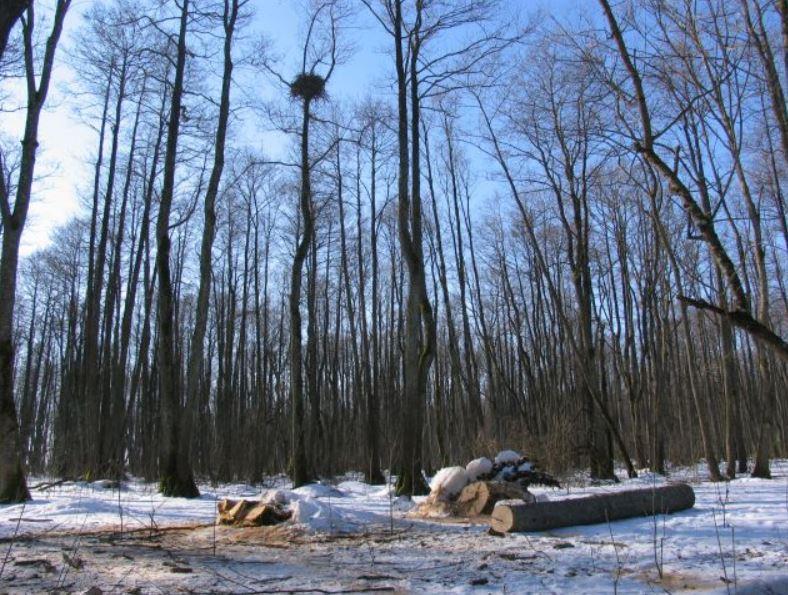 Jūriniai ereliai nevengia perėti plynose biržėse ar jų pakraščiuose, tačiau miško kirtimai šių paukščių veisimosi metu gali juos išbaidyti iš perėjimo vietų | kedainiai.lt nuotr.