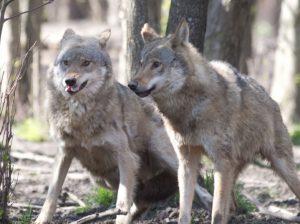 Jau nutraukiamas vilkų medžioklės sezonas | lrv.lt nuotr.