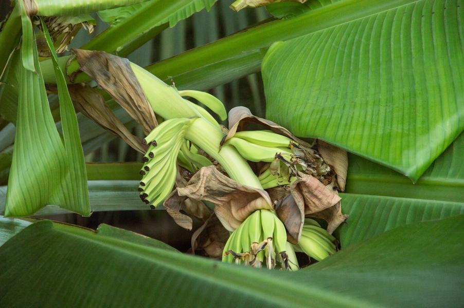 Tikrasis bananas   VDU botanikos sodo nuotr.