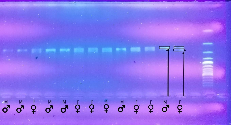 Meldinių nendrinukių kraujo tyrimas DNR   Gamtos tyrimų centro nuotr.