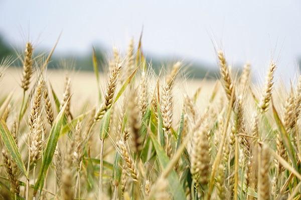 Šilta žiema pranašauja rekordinį derlių – bet ateityje taip gali ir nebebūti   VDU nuotr.