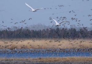 Paukščiai virš Žuvinto   vstt.lt nuotr.