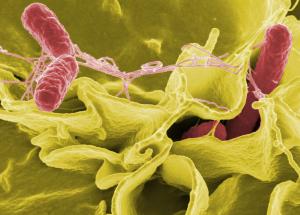 Salmonelės | wikipedia.org nuotr.