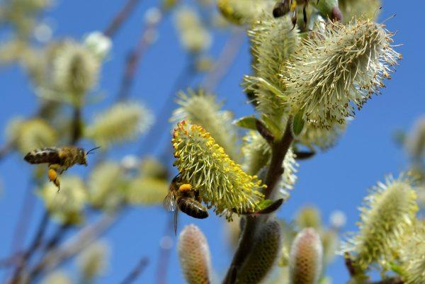 Žydinčios blindės – vienas pirmųjų nektaro šaltinių bitėms | R. Barausko nuotr.