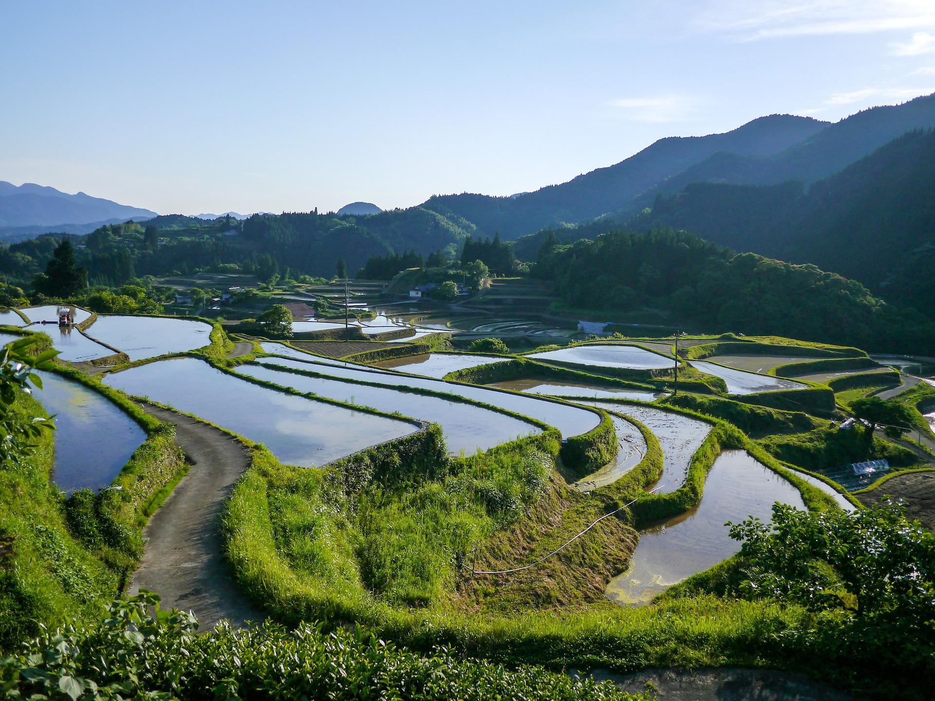 Ryžių plantacijos Japonijoje   E. Stankevičiūtės nuotr.