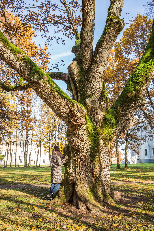 Perkūno ąžuolas | Plungės dvaro parko nuotr.