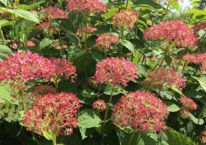 "Hortenzija Hydrangea arborescens ""Pink Annabelle"" | VDU Botanikos sodo nuotr."