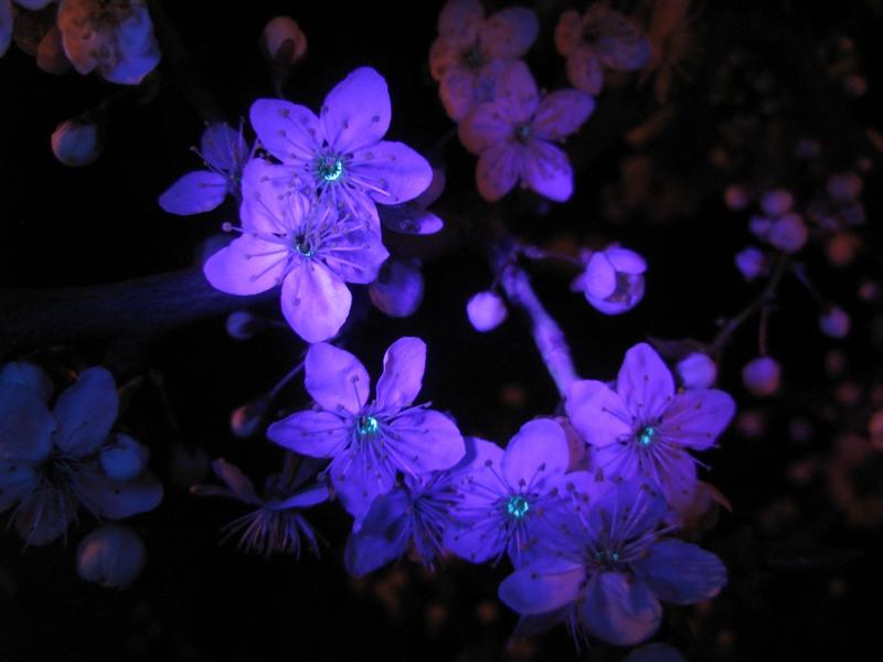 """Prunus cerasifera"" | VDU Botanikos sodo nuotr."
