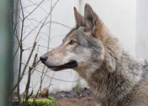 Vilko ir šuns hibridė Luna | aad.lt nuotr.
