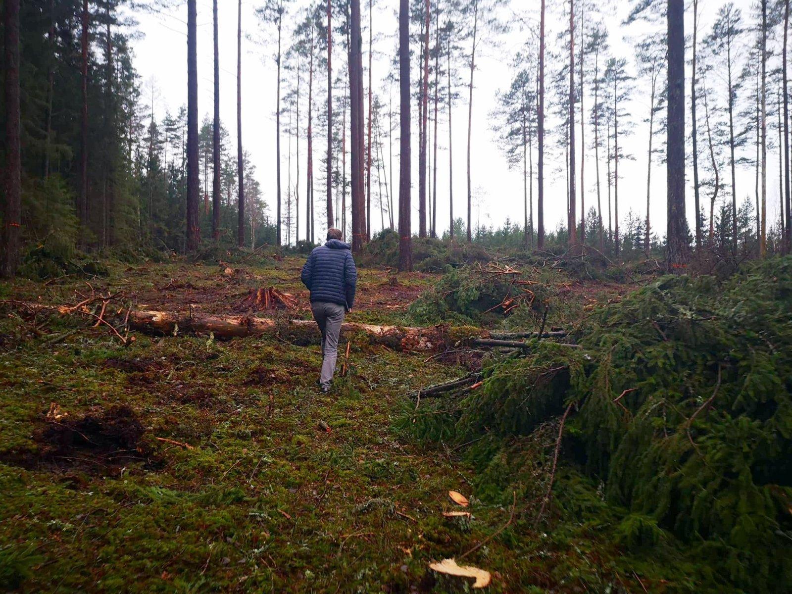 Iškirsti medžiai Labanoro girioje | M. Peldavičiūtės nuotr.