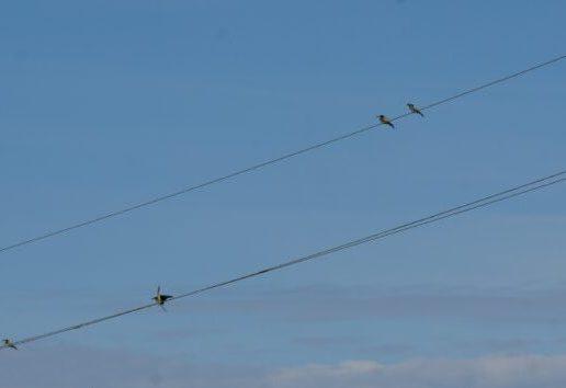 Bitininkas (Merops apiaster) | lrv.lt nuotr.