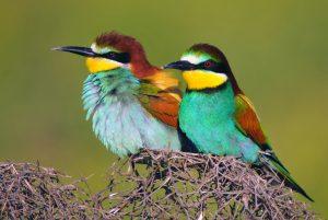Bitininkas (Merops apiaster) | Vikipedijos nuotr.