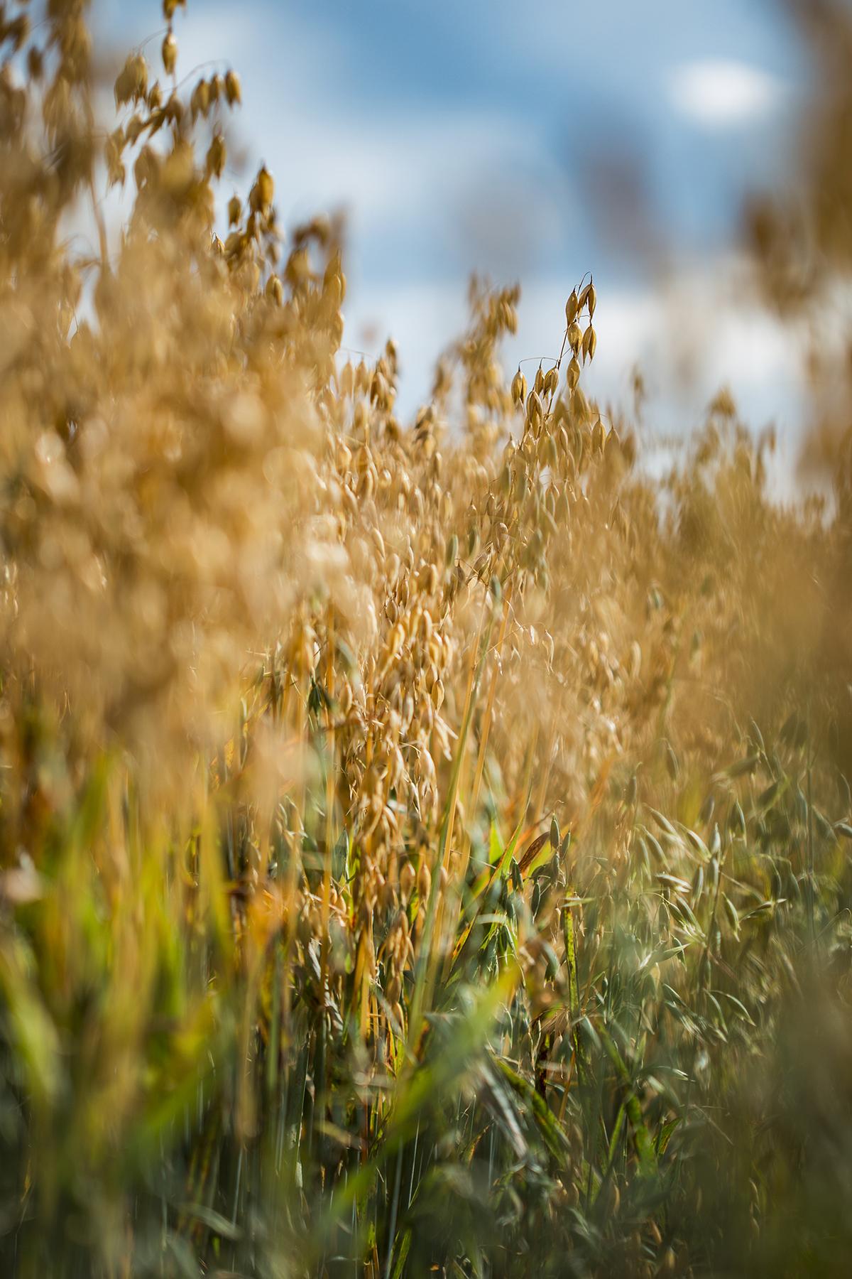 """Tikimasi, kad Lietuvoje vystoma nauja avižų veislė bus pripažinta švariausia pasaulyje   """"Baltic Mill"""" koncerno nuotr."""